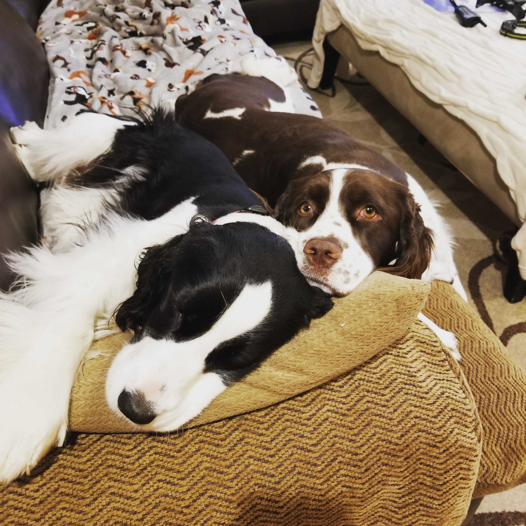 2 dogs laying on couch