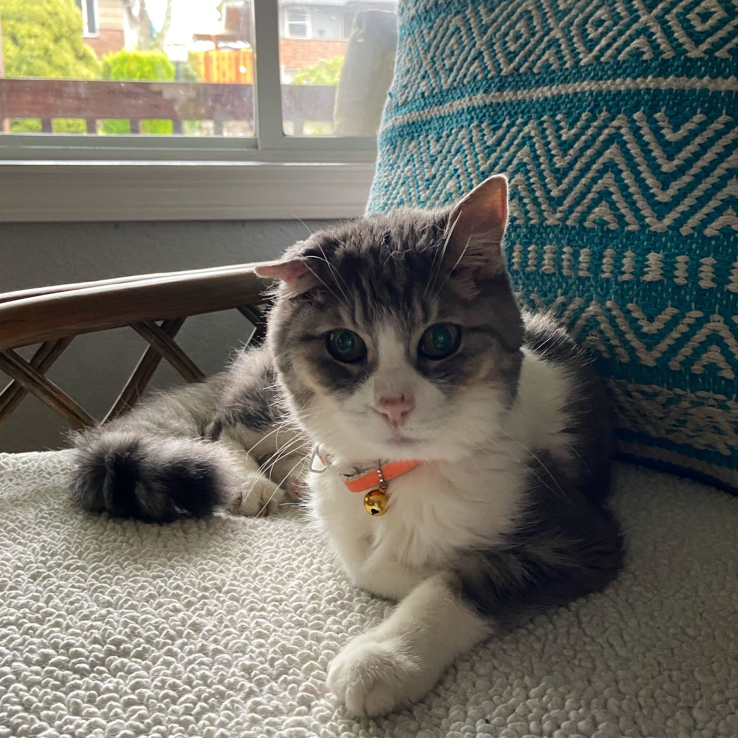 cat named Lila from PNW Insurance Group
