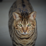 10 year old Savannah Cat